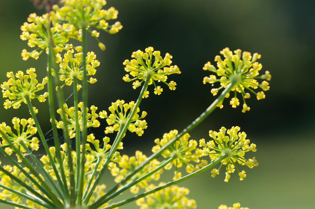 Fenouil Plante
