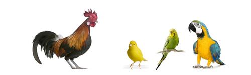 poudre aviaire